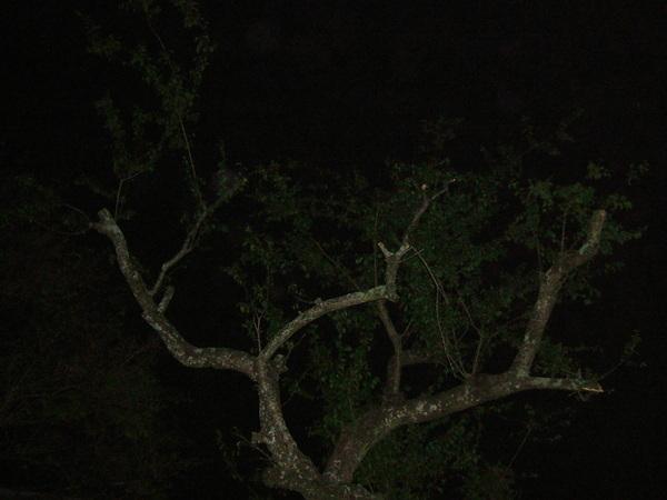 2008.4.12老梅樹