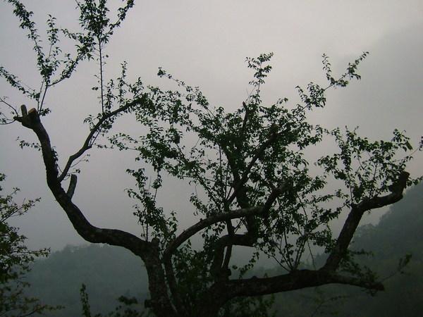 08.04.13 截枝的老梅樹