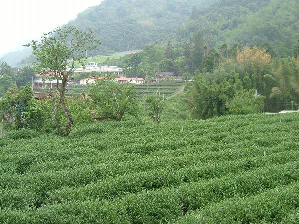 2008.5.5春茶採收前
