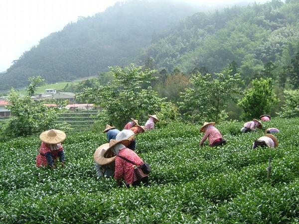 2008.5.7採茶