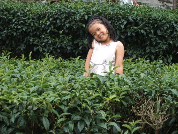 2008.07.26新中橫旁三太老祖茶園區