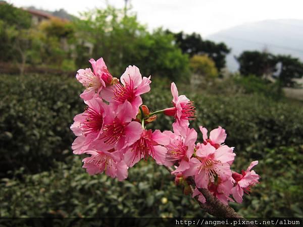 2012.3月開-昭和櫻