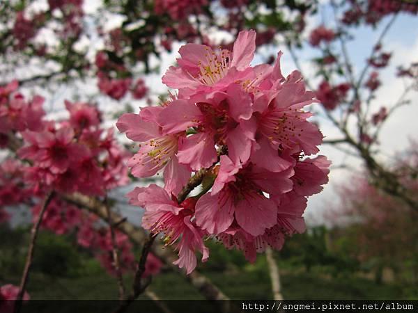 2012.3月開寒櫻(台灣富士櫻)