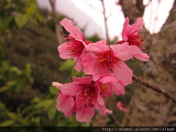 2012.3月開-粉紅緋寒櫻(山櫻)