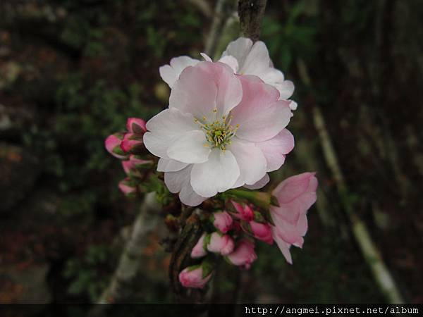 2012.3月開-八重櫻