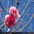 2013.01.14粉紅杏花