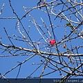 2013.01.14紅杏花