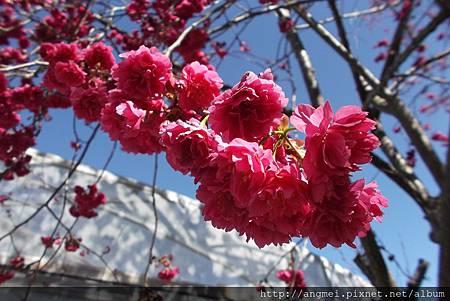 台灣粉紅八重櫻2-3月