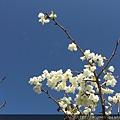 霧社櫻2-3月