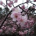 富士櫻(千島櫻)2-3月