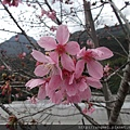 昭和櫻2-3月