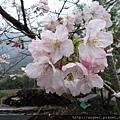 吉野櫻3月