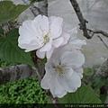 阿里山八重櫻3-4月