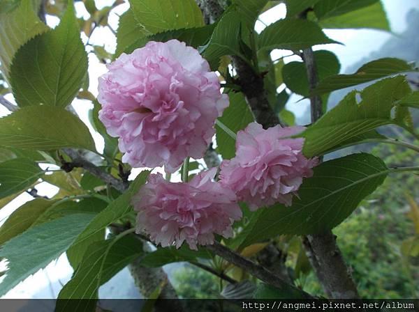 牡丹櫻4-5月