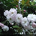 普賢象櫻4-5月