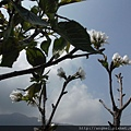 大島櫻3-4月