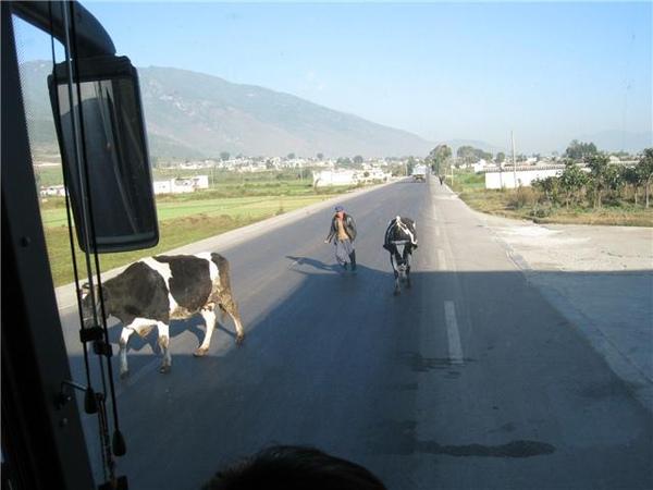 08.11.24車子要讓牛的