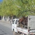 08.11.24進入麗江市區看見牛