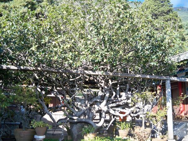 08.11.25玉峰寺的百年茶花樹