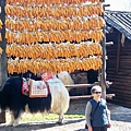 08.11.25玉水寨的玉米與牦牛