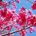 09.01.19逸軒園櫻花