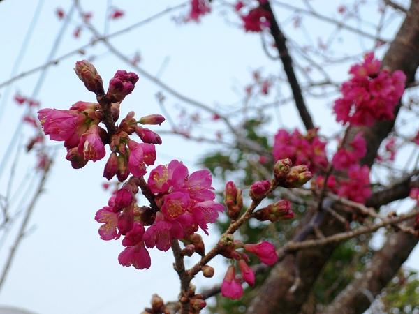 09.01.22逸軒園櫻花