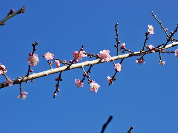 08.01.23逸軒園櫻花