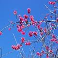 09.01.23逸軒園櫻花