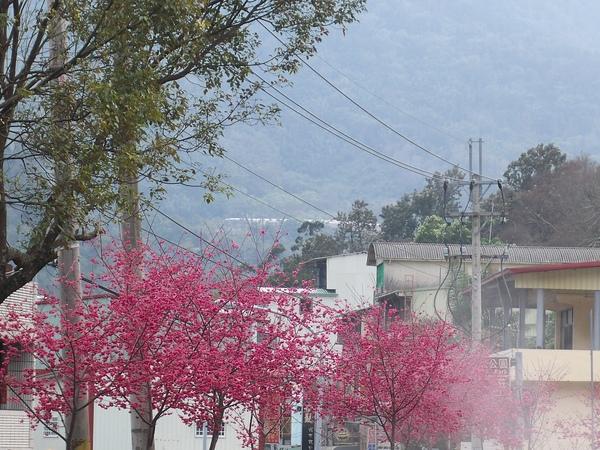 2009年櫻花