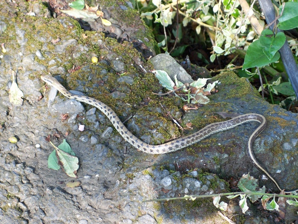 09.03.08小蛇出來曬太陽