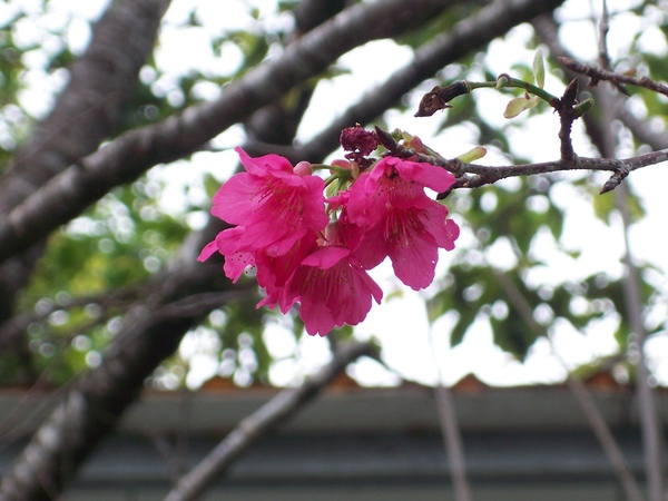 09.04.05山櫻(緋寒櫻)