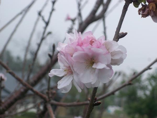 09.03.23八重櫻