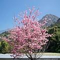 2011.02.28昭和櫻