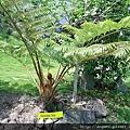 2010.05.04筆筒樹