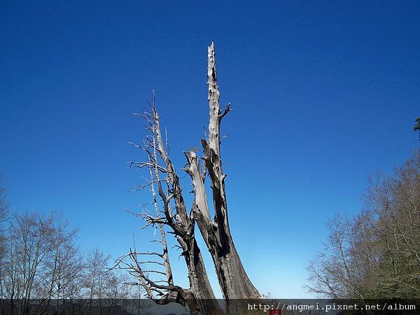 2011.2.5塔塔加夫妻樹