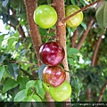 樹葡萄1.JPG