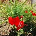 隨處可見的罌粟花