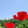 修道院的罌粟花