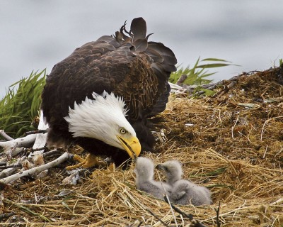 mom-and-baby-eagle.jpg