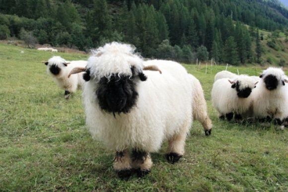 瑞士瓦萊黑鼻羊