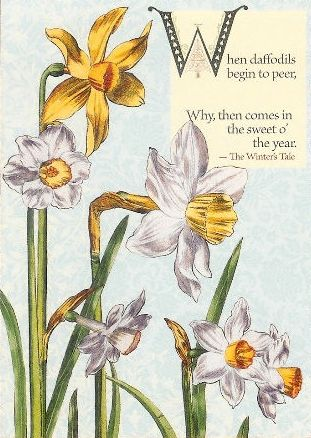 Shakespeare's Daffodil 323a