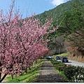 台中,武陵農場,賞櫻,櫻花