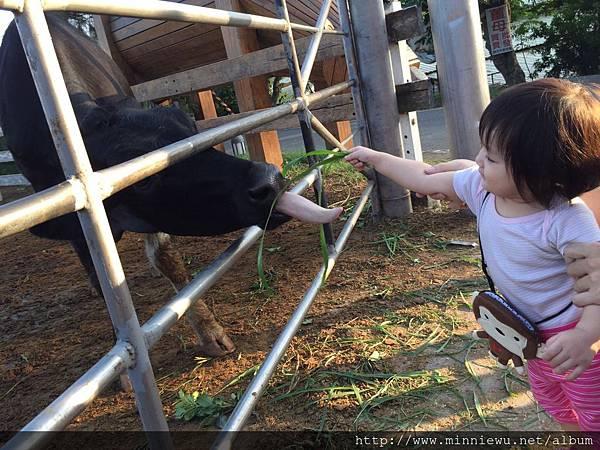 禾家牧場餵牛