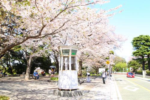 橫濱賞櫻景點元町公園