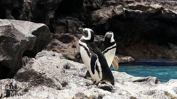 墨田水族館企鵝