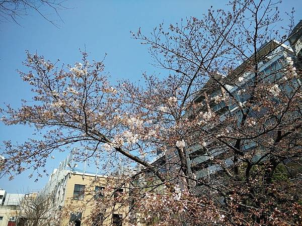 sakurapic170328.jpg