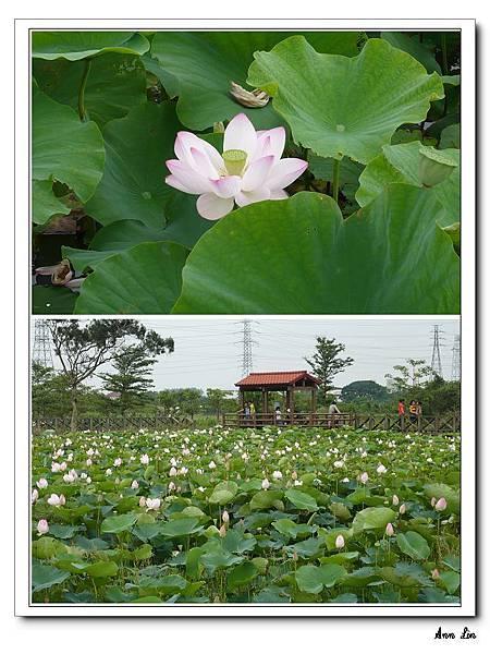 2008-06-08 青林農場+大溪老街蓮花田