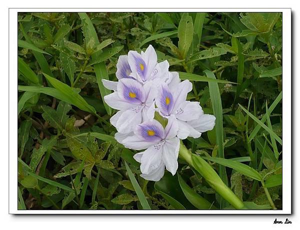 2008-06-08 青林農場+大溪老街布袋蓮之花