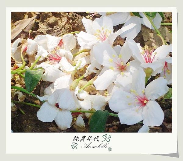 油桐花16.jpg