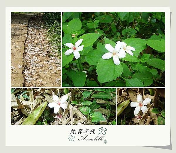 油桐花19.jpg